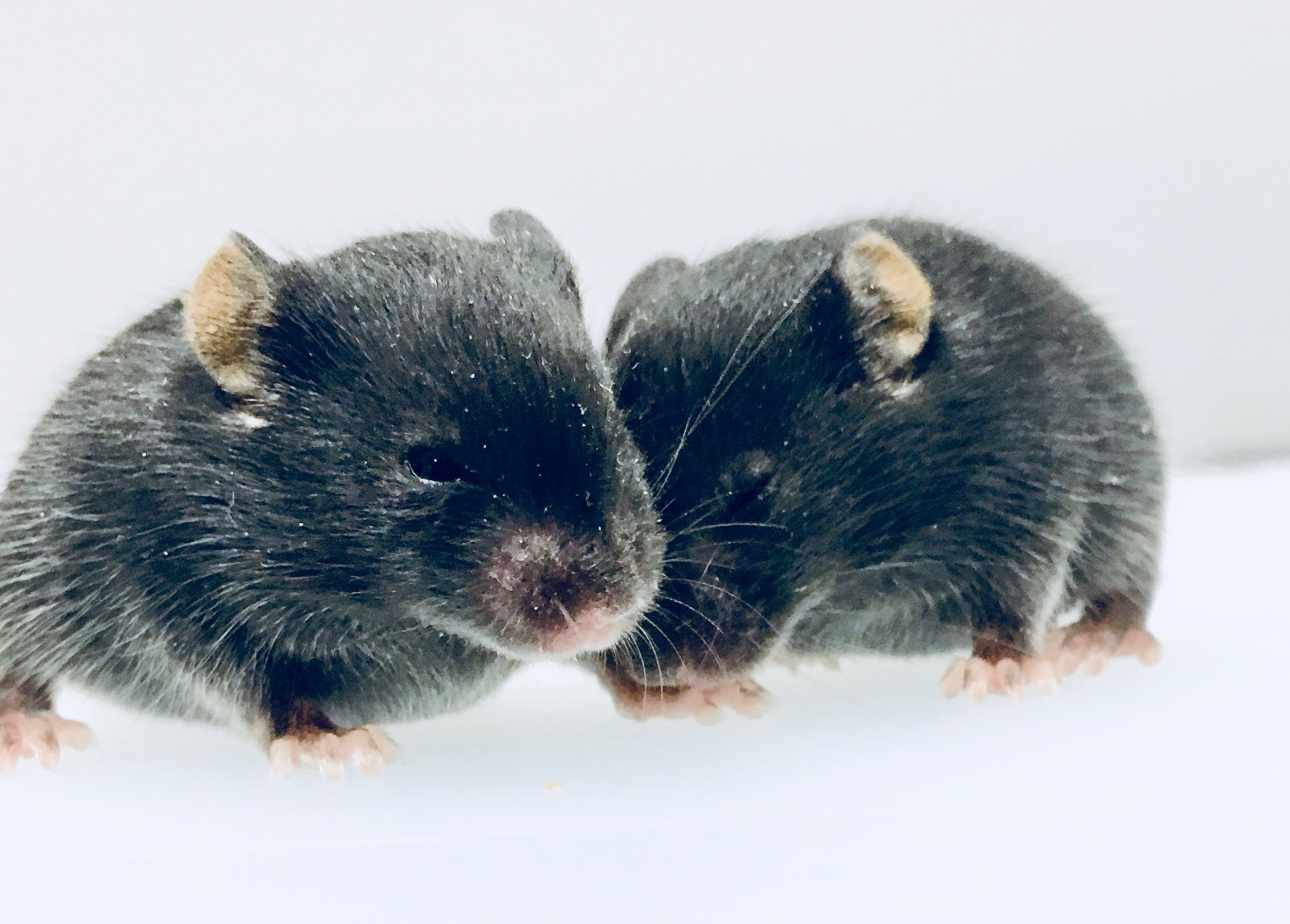 female and male mouse