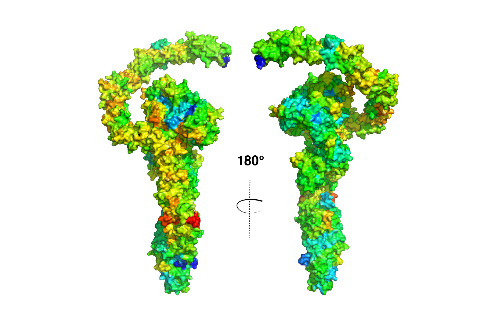 overlay of clostridial toxins showing overall structure similarity except in the receptor binding region